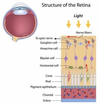 Retina Structure Enchroma